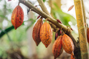 It's essential for companies and consumers to source sustainable chocolate. Shot of cacao pods.